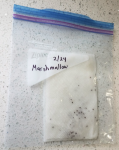 seeds in folded wet paper towel in plastic bag labeled with date and Marshmallow
