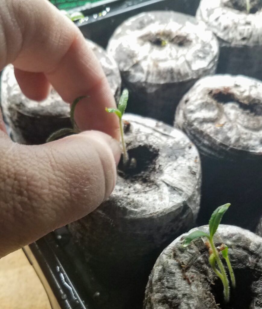 Fingers pinching off a seedling from peat pellets