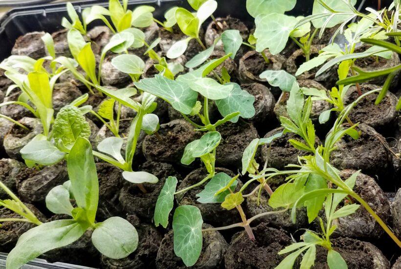 Seedlings in peat pellets